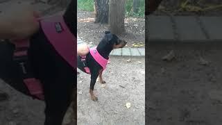 самая быстрая собака в мире