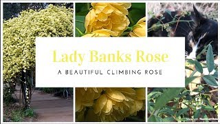 How To Plant A Lady Banks Climbing Rose 💚 Gardening Tips