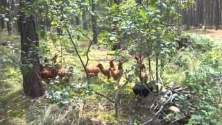 początki kanłu + kury w lesie