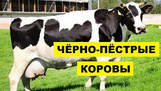 Разведение черно-пестрой породы коров как бизнес идея | Черно-пестрая корова