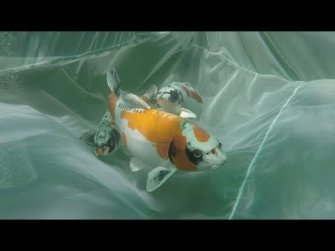 My Koi Breeding Project - Part 1 - Meet the Parents.....