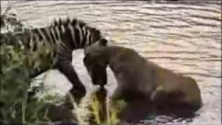 Repeat youtube video zebra afoga leao