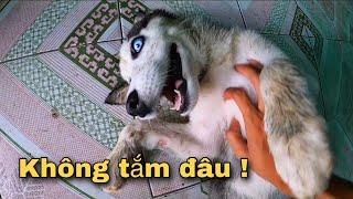 Dương KC | Chó Sói Husky Ngáo Nghịch Bẩn Xong Trốn Tắm !