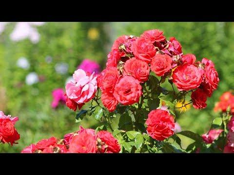 Розы -  на одном стебле целый букет! Розы спрей и другие