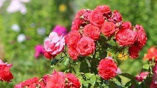 видео Уход за розами и выращивание роз: саженцы и сорта роз, посадка роз, размножение и обрезка роз. Разведение роз от А до Я