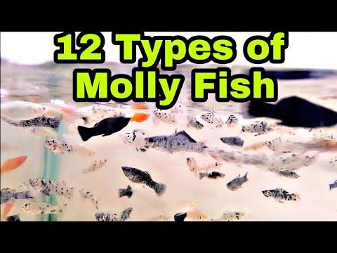 12 TYPES OF MOLLY FISH   UTEKAR FISHERIES PVT LTD