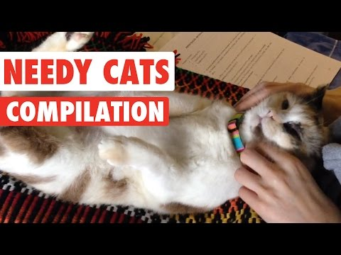 Needy Cats Video Compilation 2016
