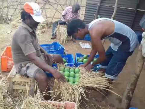 Ratnagiri hapus mango packing