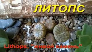 """DIY Литопс, """"живой камень"""" Lithops"""
