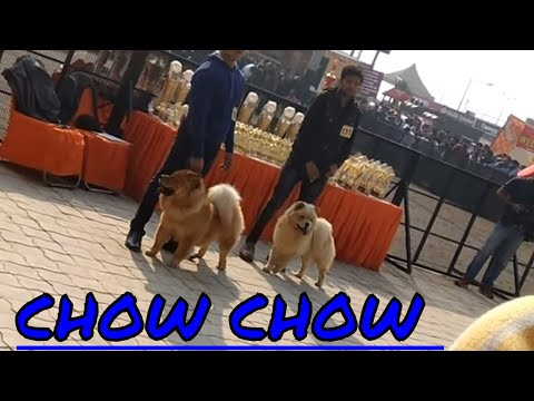 DOG SHOW OF CHOW CHOW DOGS AT AMBALA {INDIA}.