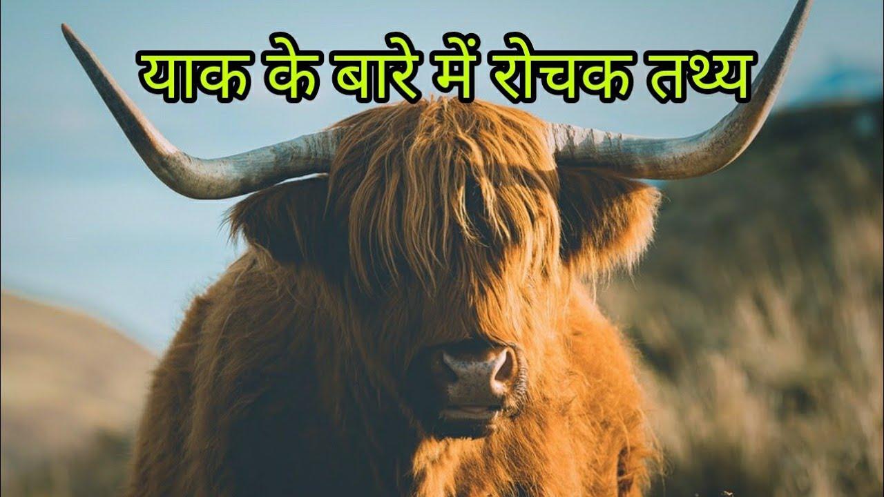 याक के बारे में रोचक तथ्य || Interesting Facts about Yak in Hindi || Rare Facts