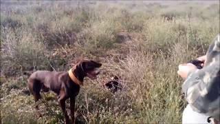 Охота  на  фазана  с  курцхааром
