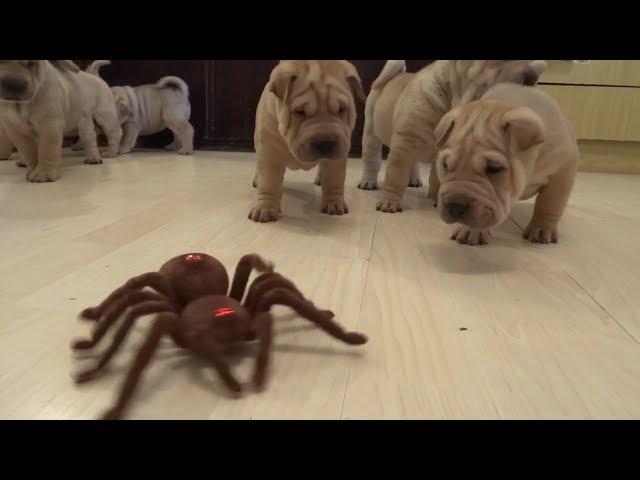 Shar Pei Puppies Vs. Robot Spider