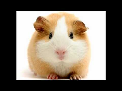 Cute Guinea Pig pictures