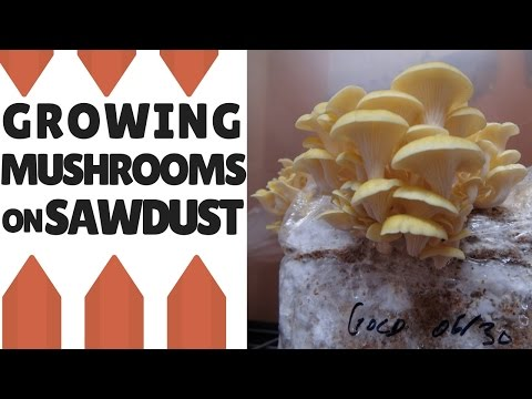 Growing Mushrooms On Sawdust: Making The Fruiting Block