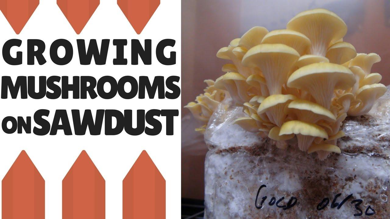 How To Use Mushroom Grain Spawn | FreshCap Mushrooms