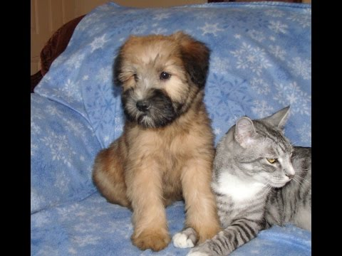 Andy, a Soft Coated Wheaten Terrier Puppy from Celebritypups.com