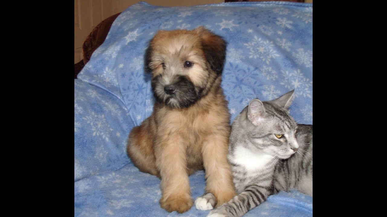 Andy A Soft Coated Wheaten Terrier Puppy From Celebritypups You