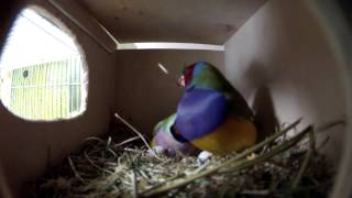 В гнезде амадин гульда 6 яиц. In the nest of gouldian finches
