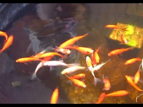 Goldfish Pond Update - Why Not Koi?