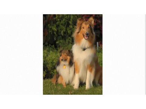 Pros & Cons of a Collie | Dog Breeds