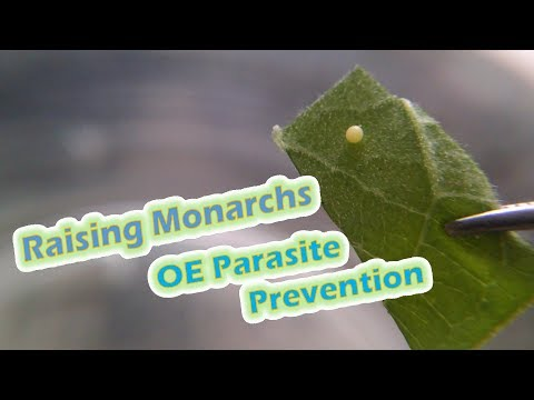 Raising Monarchs - OE Parasite Prevention (Help The Monarch Butterfly)