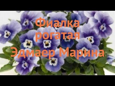 Фиалка рогатая Марина 🌿 рогатая фиалка Марина обзор: как сажать, семена фиалки Марина