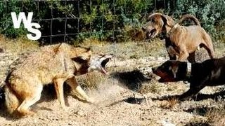 Coyote Attacks Dogs I Shoot With Glock 26