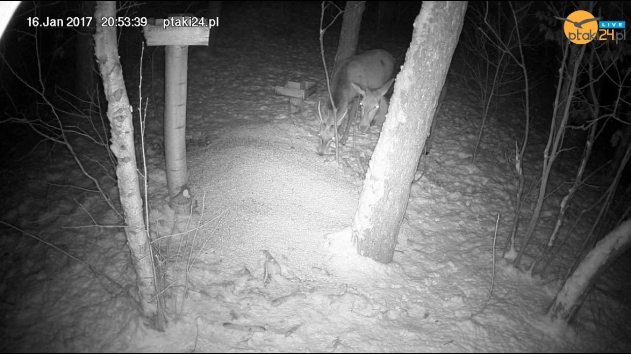 Młody jeleń i łania w karmisku dla zwierząt w lesie na Podkarpaciu