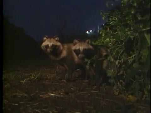 Raccoon dog  タヌキ Nyctereutes procyonoides