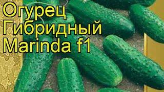 Огурец гибридный Маринда f1. Краткий обзор, описание характеристик, где купить семена Marinda f1