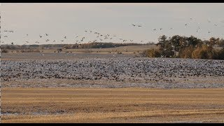Hired to Hunt Season 4 #6:  Holy Moly!  Duck Hunting and Goose Hunting.  Limit Hunts in Alberta