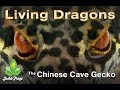 watch he video of Chinese cave gecko complete care