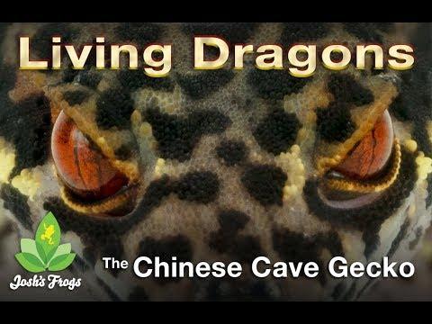 Japanese Cave Gecko