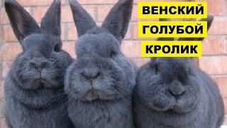 Разведение кроликов породы венский голубой как бизнес идея   Венский голубой кролик