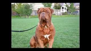 Dlk's Yetti French Mastiff Dogue De Bordeaux Stud Service California Bay Area