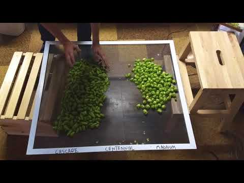 How to Harvest and Dry Hops