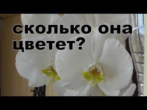 сколько времени цветет орхидея?  когда ждать цветения.Сколько раз в году цветут орхидеи  фаленопсис?