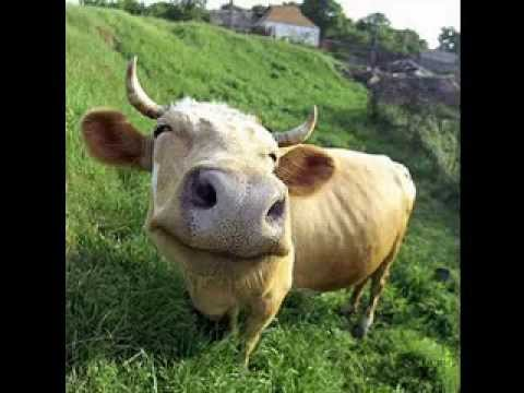 Very Funny cow pictures gallery - YouTube