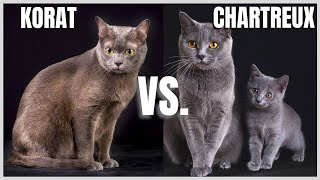 Korat Cat VS. Chartreux Cat
