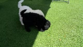 Schnauzer X Poodle Pups