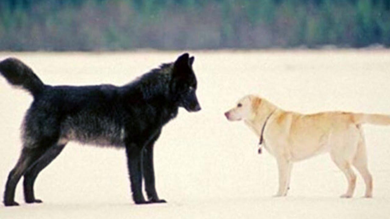 Lobo Negro Do Alasca Perseguiu Este Fotógrafo - O Que Aconteceu A Seguir Vai Te Deixar Chocado