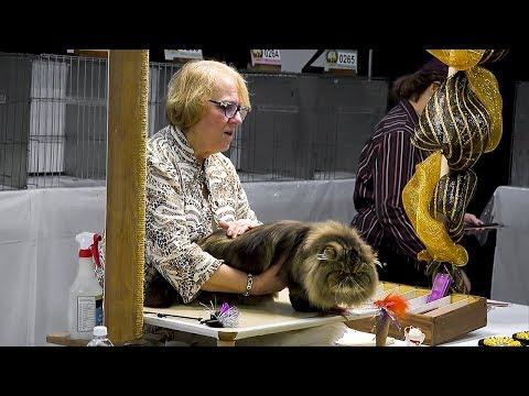 CFA International Cat Show 2017 - Championship Tabby Persians