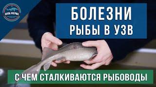 Болезни рыбы в УЗВ
