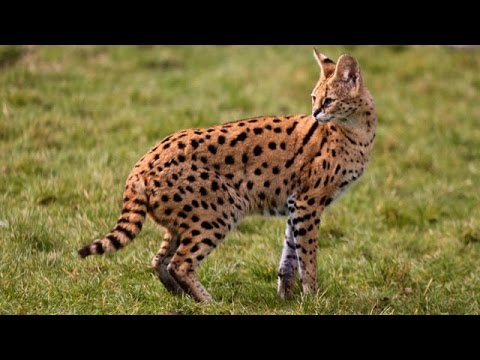 Meet ZSL's all-action serval Xena   Zoological Society of