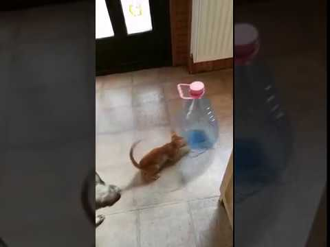 Oriental shorthair kitten playing