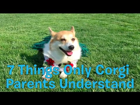 7 Things Only Corgi Parents Understand