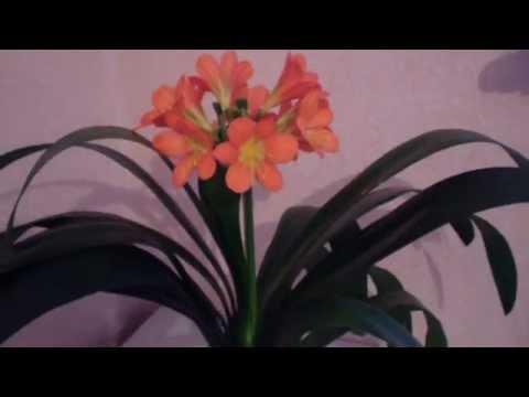 Хобби.Уход за Кливией , ежегодное цветение, мой опыт .(часть 1)
