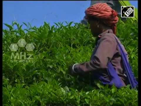 Tea processing unit setup in India's north eastern province to benefit small tea growers