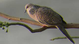 Pancingan Suara Panggil Pikat Terkukur Derkuku Kuk Satu 1 Spotted Dove